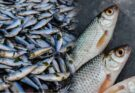 The benefits of fish that you may not know