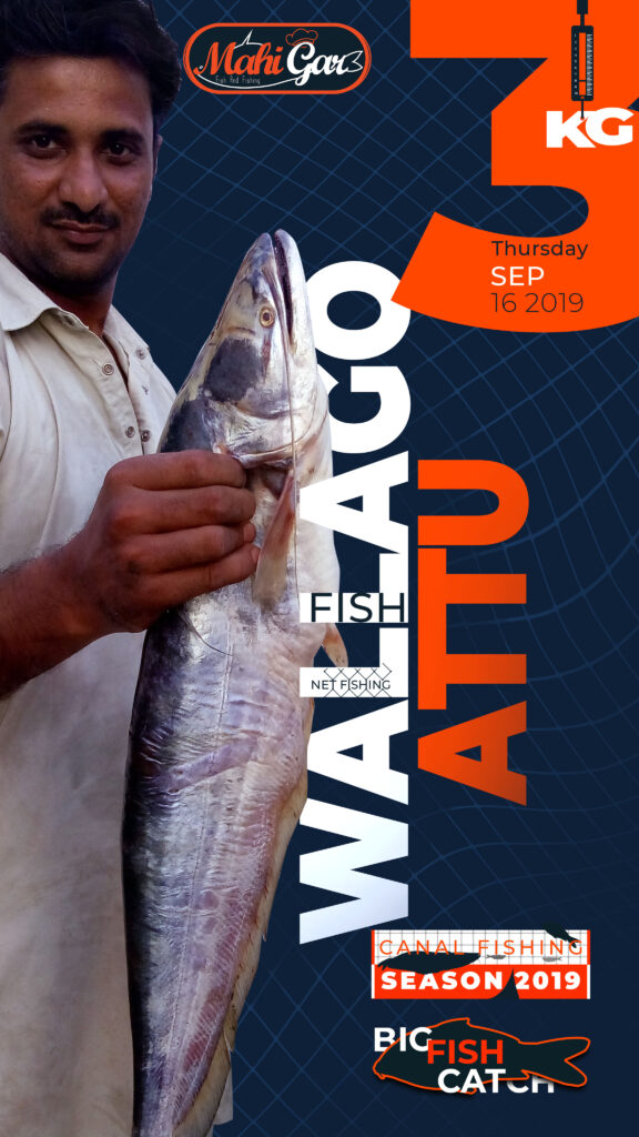3 Kg Wallago Attu Catfish Canal Fishing Season 2019 Mahigar