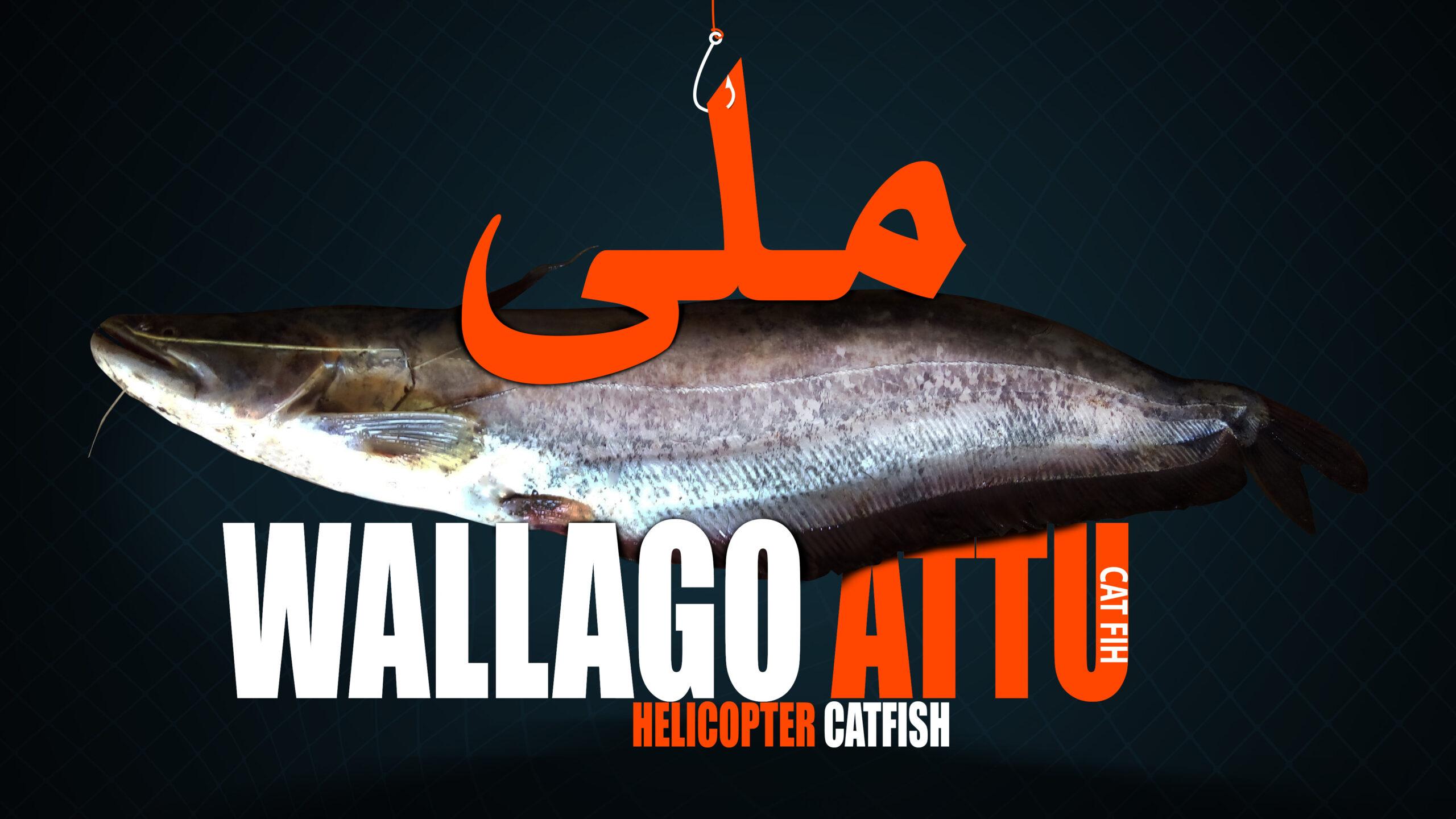 Wallago Attu Cat Fish helicopter fish